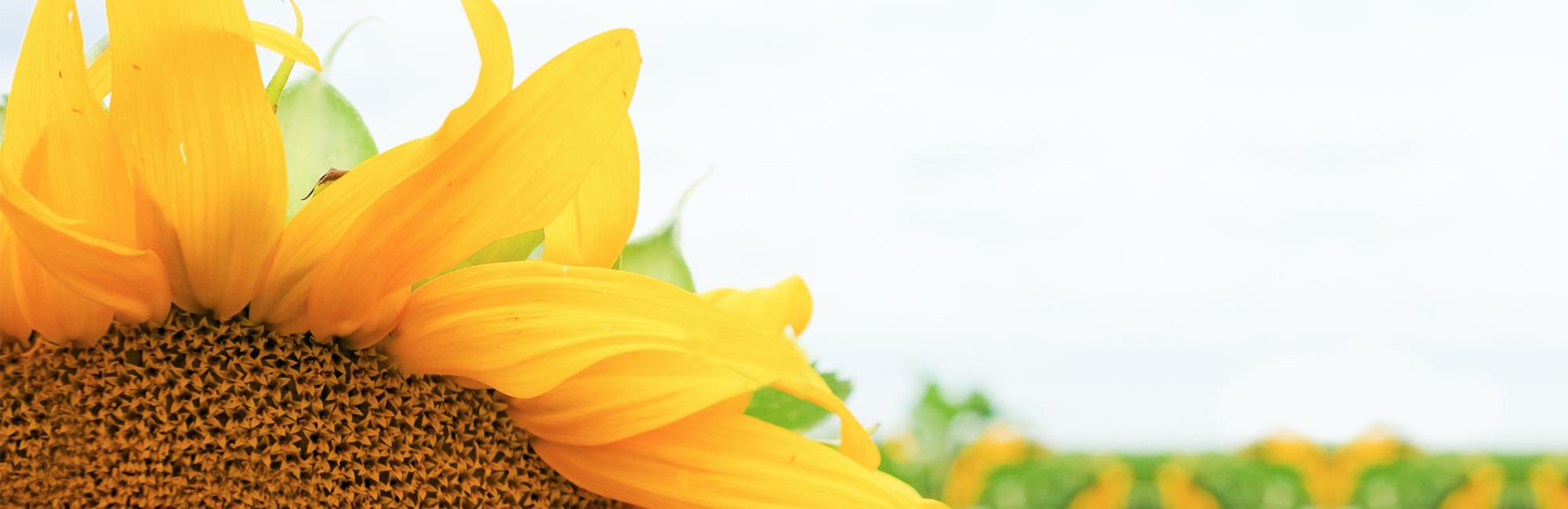 socialmedia-lakeland-sunflower